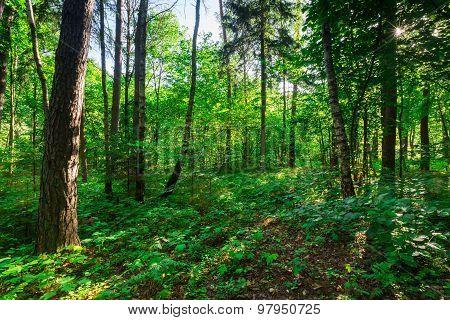 Wild European Forest In Summer