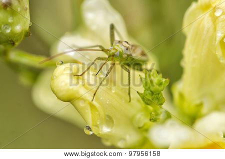 Green Mosquito - Culicidae Sp. On Yellow Flower