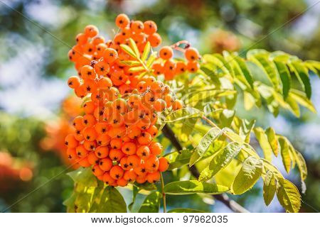 Sorbus Red Fruits
