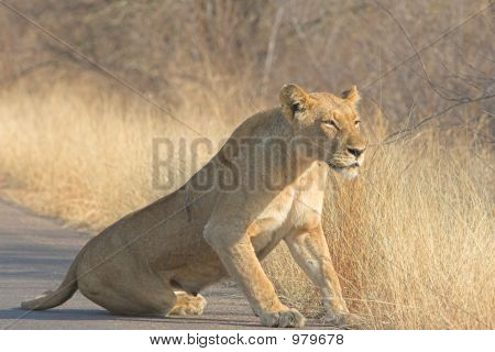Scarred Lioness
