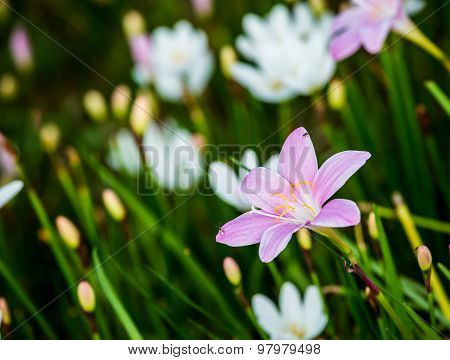 Zephyranthas Grandiflora Flower In Chiangmai Thailand