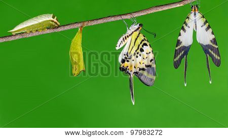 Five bar swordtail butterfly (antiphates pompilius) life cycle poster