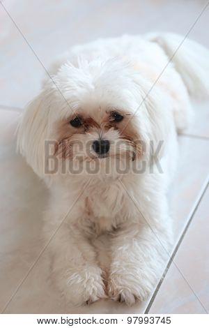 Portrait Of A Purebred White Maltese Dog