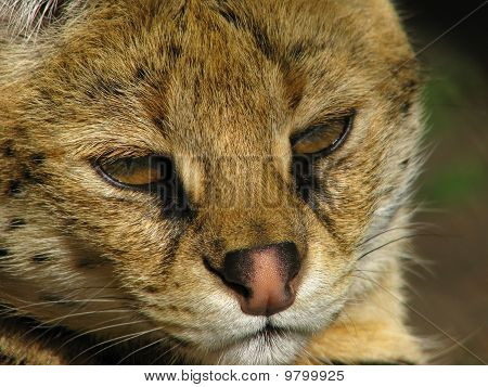 Muzzle of the serval