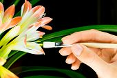 Woman hand pollinating clivia miniata with white brush poster