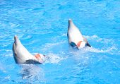 Two dancing dolphins with balls at pool poster