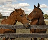 Two beautiful bay horses behind a farm fence surrounded by a blue cloud filled sky. poster