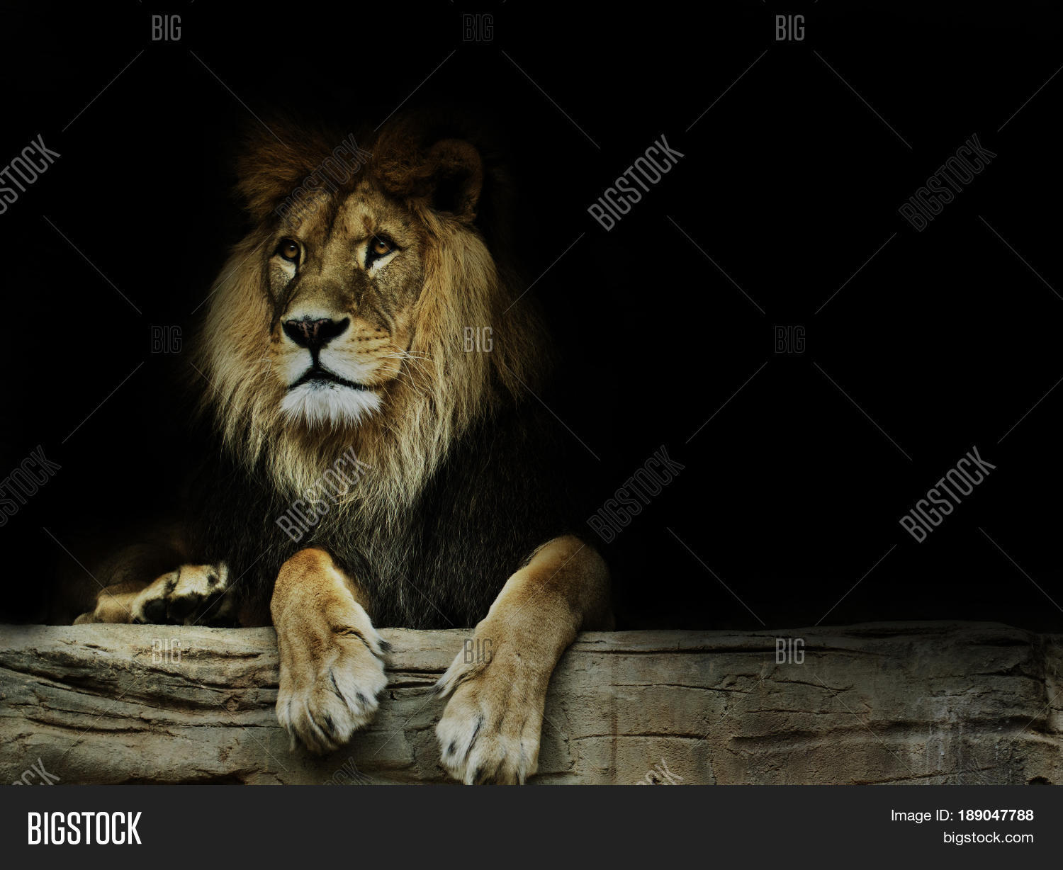 postcard lion. super wallpaper lion image & photo | bigstock