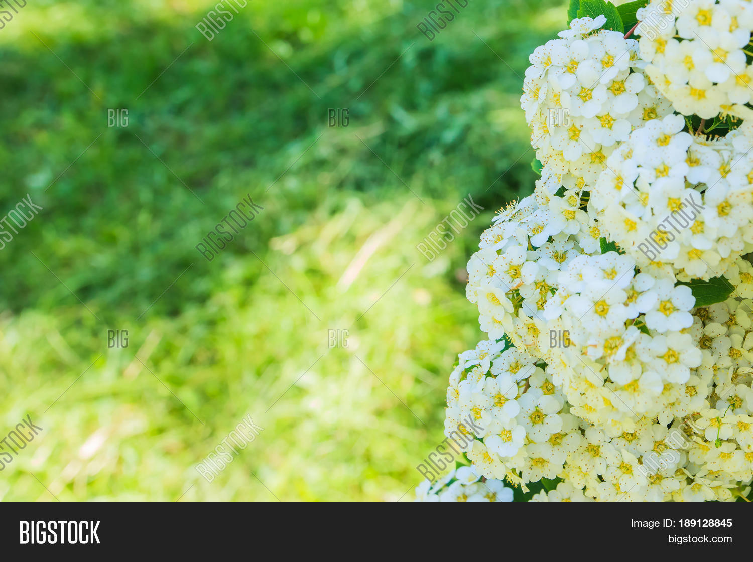 White Flowers On Grass Image Photo Free Trial Bigstock