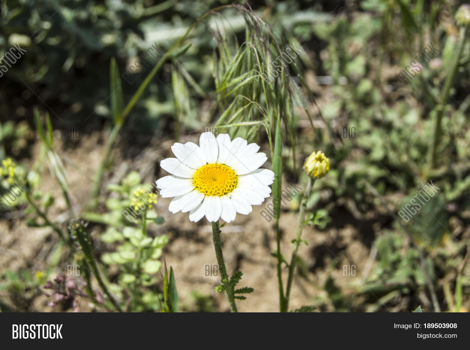 White yellow daisies image photo free trial bigstock white and yellow daisies that grow in natural environment daisies with daisy flowers do izmirmasajfo