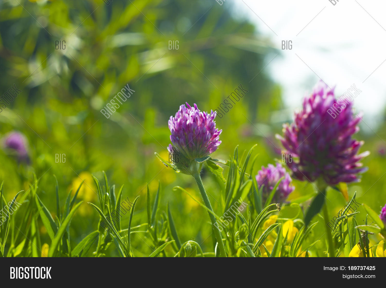 Summer field yellow pink flowers image photo bigstock summer field with yellow and pink flowers clover wild meadow pink clover flower in green mightylinksfo