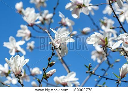 Fowers Of White Magnolia Against The Blue Sky