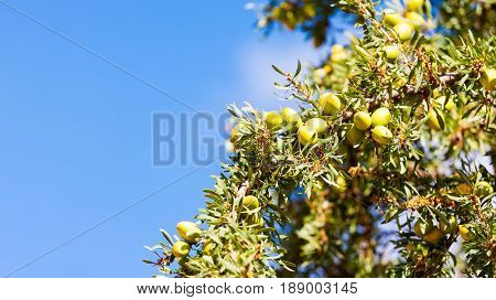 Argan fruits (nuts) on a branch of an Argan tree (Argania spinosa). Morocco, Africa.