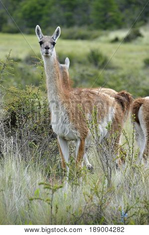 Guanaco standing among the bush in the patagonia