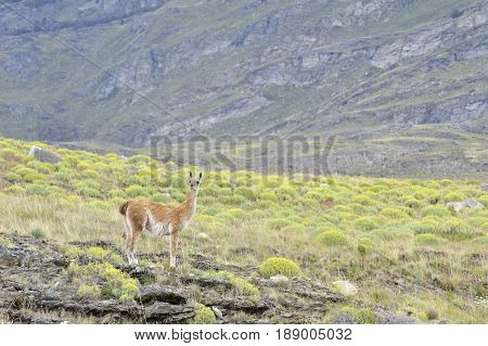 A Guanaco standing in the Patagonia mountains