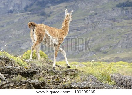 Guanaco walking in a hill taked from back