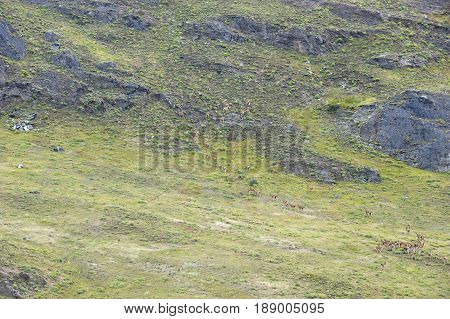 Big heard of guanacos wlaking up a hill in the chilean patagonia