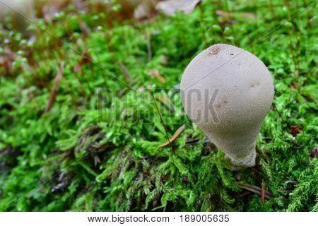 Stump Puffball mushroom or Lycoperdon pyriforme in natural habitat