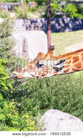 Giraffe head. Giraffe eating grass and enjoying in sunny day.