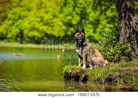 Portrait of the American Akita dog outdoors