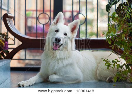 beautiful healthy white shepherd dog lying on a floor
