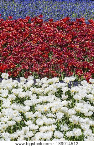 Plenty of Colorful Dutch Tilips Placed in split Areas in Garden. Keukenhof National Park. Vertical Image Composition