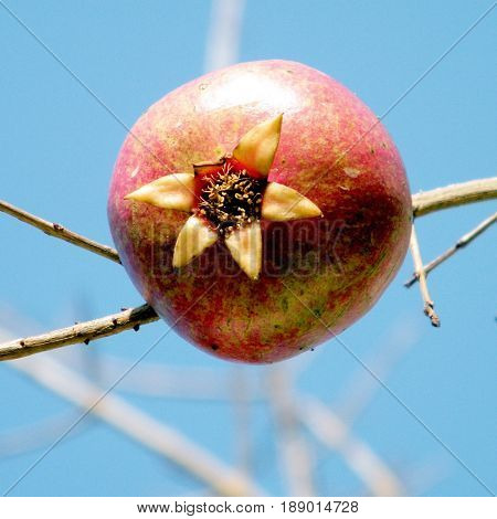 Pomegranate on a branch in Or Yehuda Israel January 29 2011