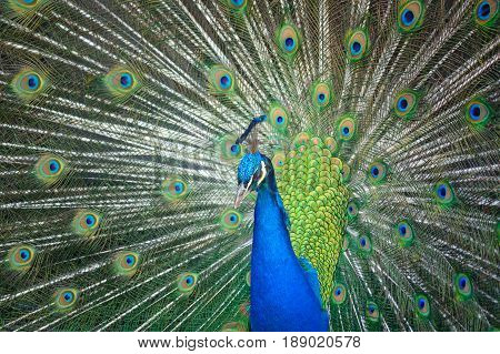 The head of the thoughtful peacock on an indistinct background