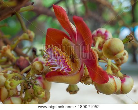 Close up of Sal flowers or Cannonball flower. Beauty in nature.