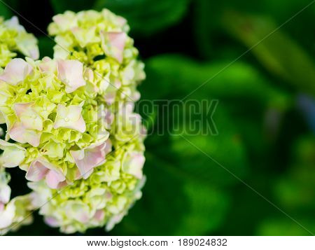 close up Cream white Hydrangea Paniculata Limelight flowers