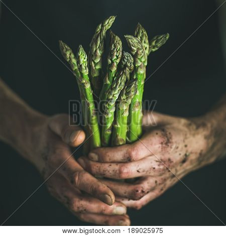 Bunch of fresh seasonal green asparagus in dirty man' s hands, selective focus, square crop. Gardening and local farmer' s market concept