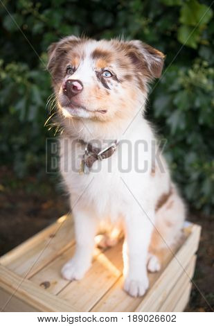 A very adorable canine with one blue and one brown eye stand on a wood crate.