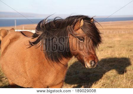 Profile of friendly Icelandic brown horse with black mane blowing in wind