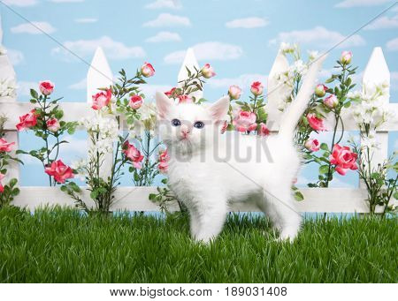 Fluffy white kitten standing sideways in grass looking at viewer. White picket fence with pink and red roses with white flowers blue background sky with clouds.