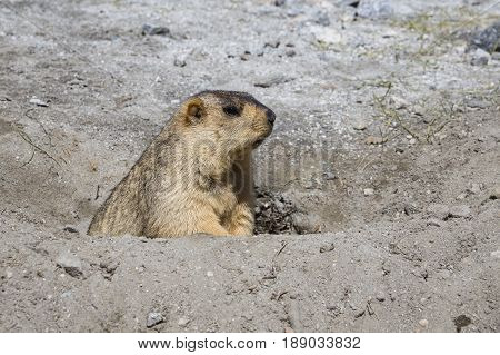 Funny marmot peeking out of a burrow in Ladakh India . Close up