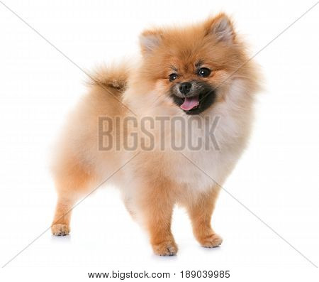 pomeranian puppy in front of white background