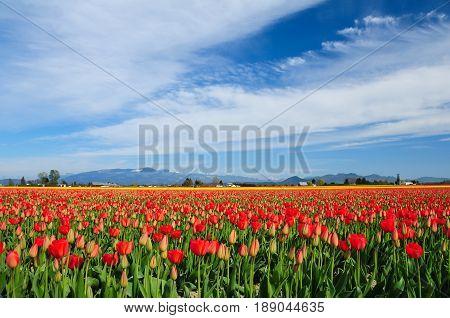 Tulips growing on Mt Vernon Washington Tulip farm during annual Tulip Festival