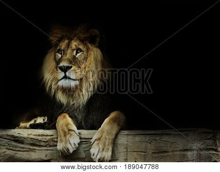 Postcard with lion. Super wallpaper with lion.Dominant lion king of animal.