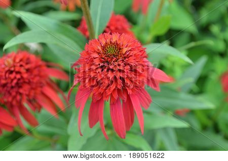 Blooming red coneflower blossom flowering in a garden.