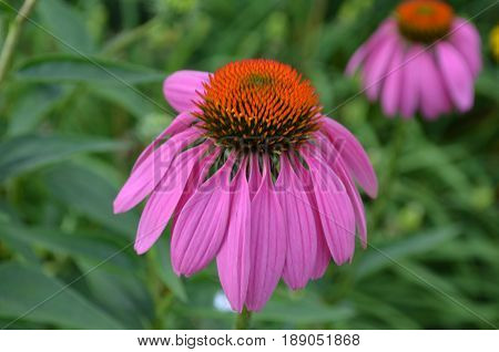 Garden with a large blooming coneflower in a garden.