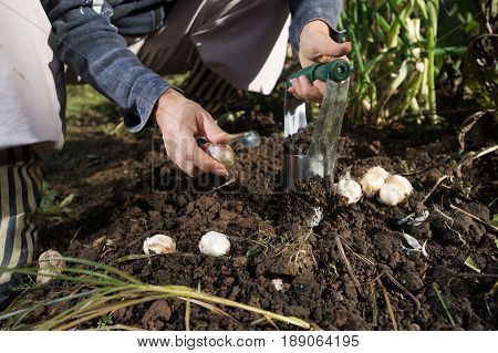 Close up of hand planting bulbs with flower bulb planter outdoors in garden. Use of garden tools.