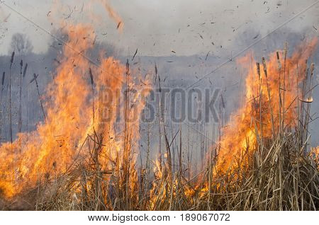 Burning reeds. Spring scene with reeds and fire