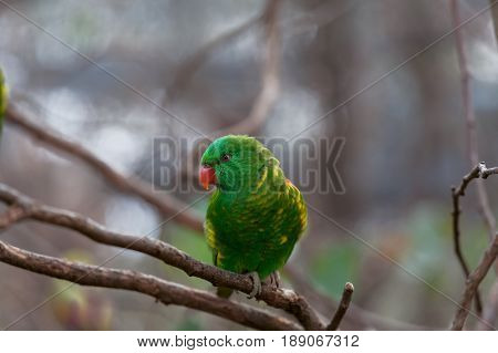 Scaly-breasted Lorikeet Parrot Perching On Tree Branch Closeup.