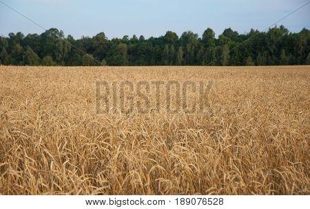 agriculture farming cereal land cultivation and texture concept - field of ripening wheat ears or rye spikes