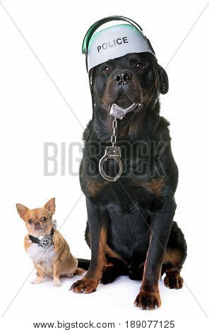 police dog chihuahua and rottweiler in studio