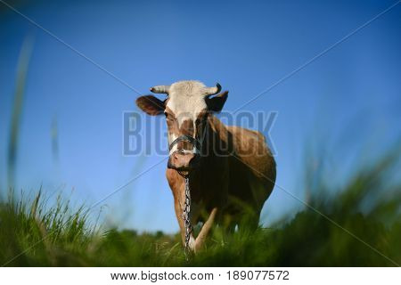 Dairy Cow At Countryside, Beautiful Sky In The Background.  A Curious Dairy Cow Stands In Her Pastur