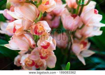 closeup Orange Cymbidium Orchid flower with blur background