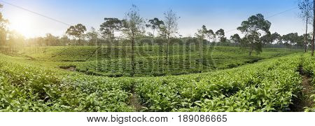 Tea plantation . Indonesia Java in a sunny day