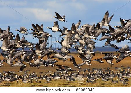 Migrating barnacle geese flocking late in autumn.