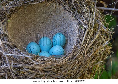 Five blue bird eggs of a thrush lay in a retinue nest